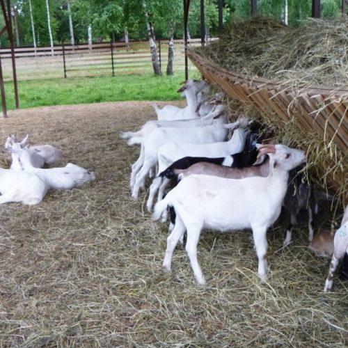 Поход на козью ферму
