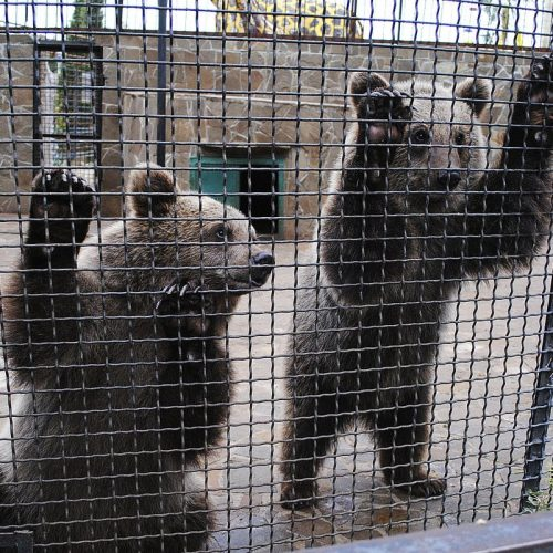 медведи-камчатки
